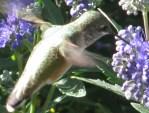 Humming bird album 008